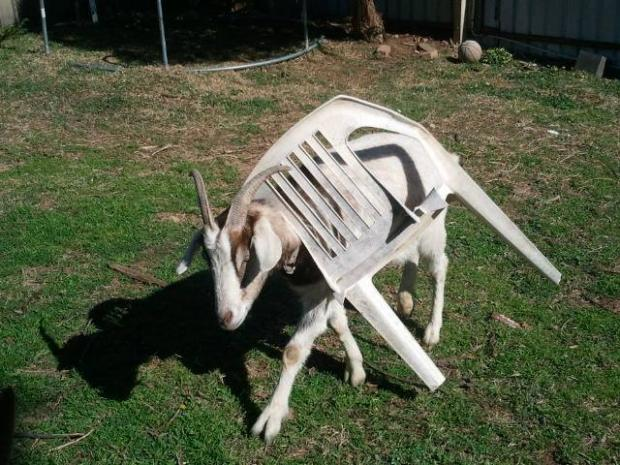 Goat Stuck in Chair Blank Meme Template