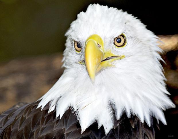 bald eagle blank template imgflip