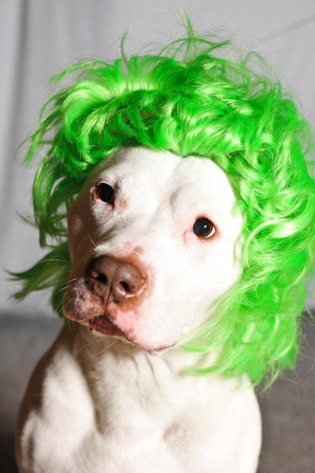 Green Wig Dog Blank Template - Imgflip