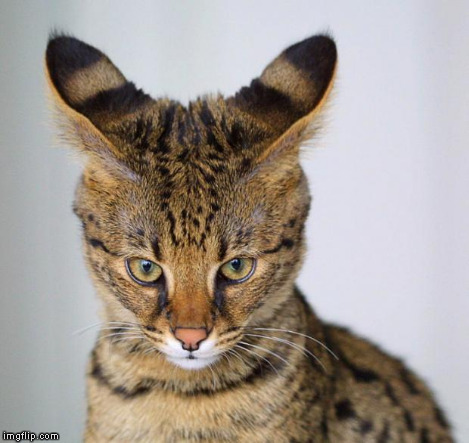Savannah Cat - young | . | image tagged in savannah cat - young | made w/ Imgflip meme maker