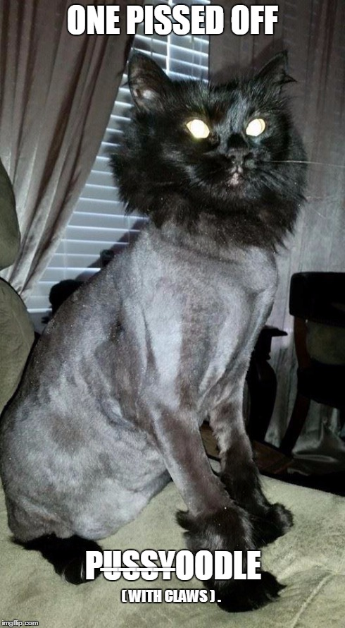 ONE PISSED OFF PU̶S̶S̶Y̶OODLE ( WITH CLAWS ) . | image tagged in memes,angryshavedcat,cat,poodle,shaved,revenge | made w/ Imgflip meme maker