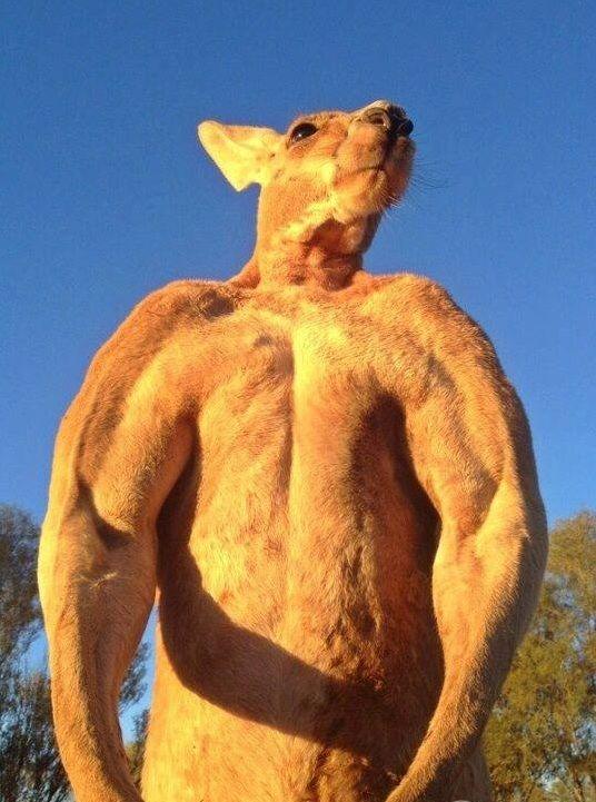 Jacked kangaroo do you even lift - photo#39