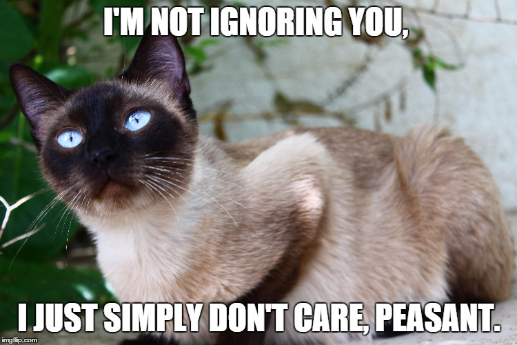 Not Funny Cat Meme : Image tagged in zoey cats snobby hilarious funny memes princess