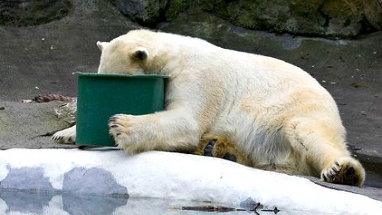 Drunk Polar Bear Blank Template Imgflip