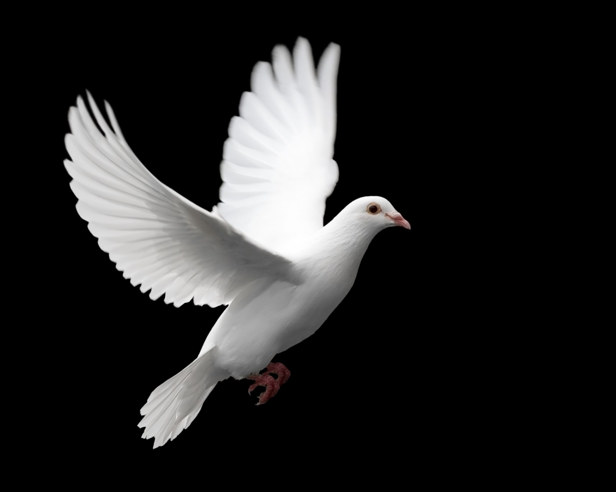 DOVE PIGEON LOVE PEACE HAPPINESS Meme Template
