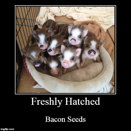 So, Biology isn't my strong suit. | Freshly Hatched | Bacon Seeds | image tagged in funny,demotivationals,pigs,pig | made w/ Imgflip demotivational maker