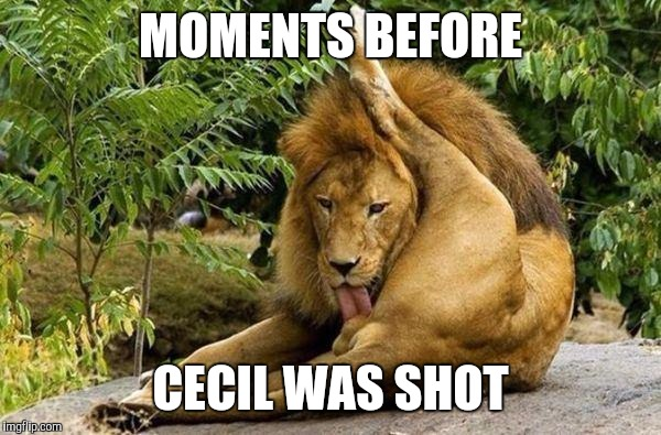 Cecil the Lion | MOMENTS BEFORE CECIL WAS SHOT | image tagged in lion licking balls,cecil,africa,hunting,funny memes | made w/ Imgflip meme maker