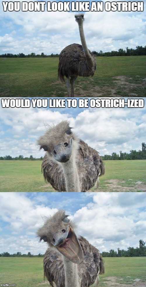 Bad Pun Ostrich | YOU DONT LOOK LIKE AN OSTRICH WOULD YOU LIKE TO BE OSTRICH-IZED | image tagged in bad pun ostrich | made w/ Imgflip meme maker