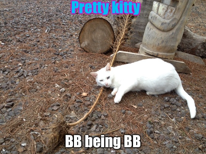Pretty kitty BB being BB | image tagged in white cat | made w/ Imgflip meme maker