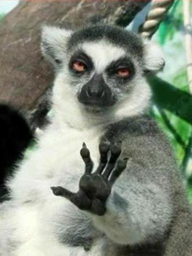 r9x7x?a422640 whoa lemur meme generator imgflip