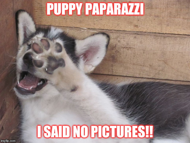 puppy paparazzi | PUPPY PAPARAZZI I SAID NO PICTURES!! | image tagged in cute puppy | made w/ Imgflip meme maker