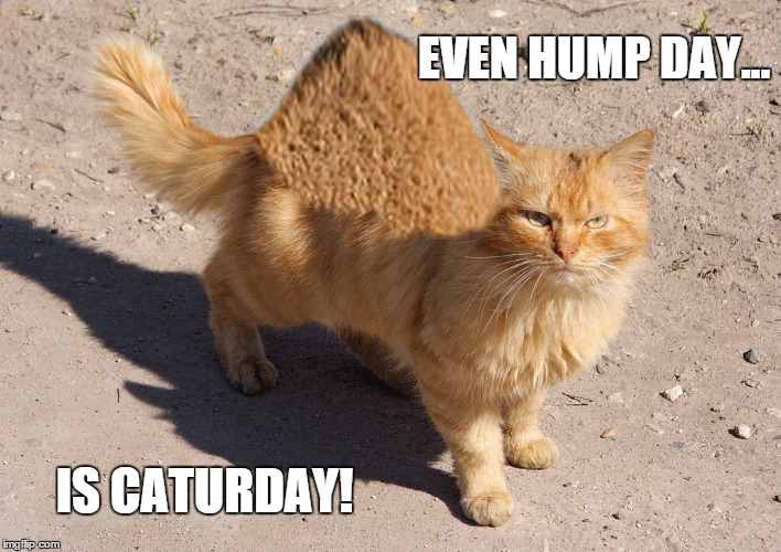 Image result for funny hump day cat gifs