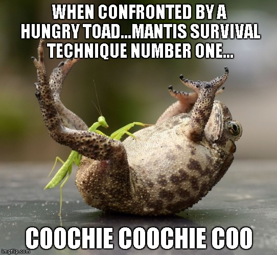 It would be easy to go a different route with this one... | WHEN CONFRONTED BY A HUNGRY TOAD...MANTIS SURVIVAL TECHNIQUE NUMBER ONE... COOCHIE COOCHIE COO | image tagged in mantis tickling toad,funny,nature,praying mantis,toad | made w/ Imgflip meme maker