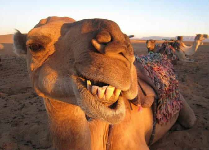Camel smile Meme Template