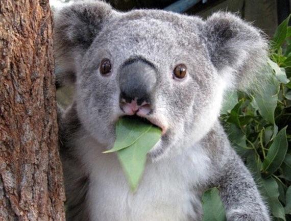 what koala blank template imgflip
