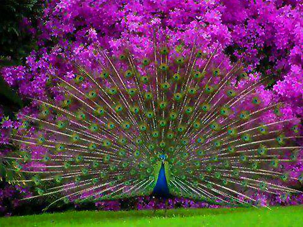 фото фиолетовых павлинов изготовление