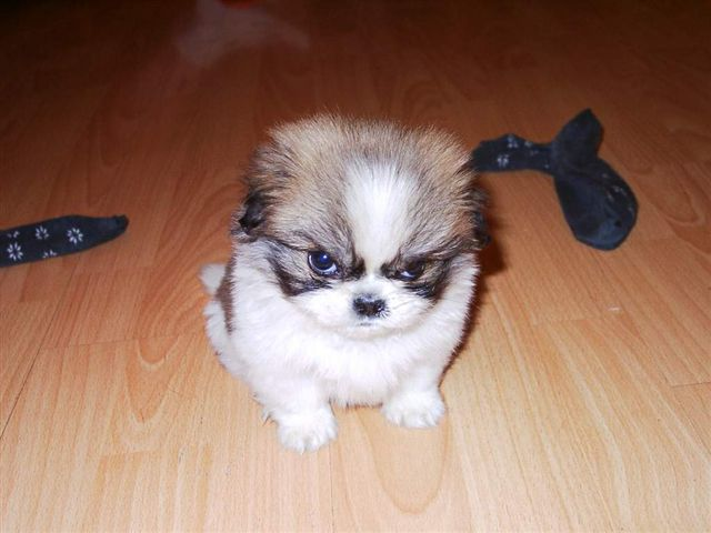 t306t angry puppy blank template imgflip
