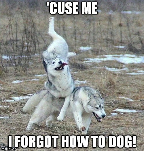 Husky Hiccup | 'CUSE ME I FORGOT HOW TO DOG! | image tagged in husky,dog,fall,woof | made w/ Imgflip meme maker