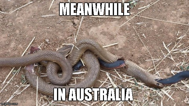 MEANWHILE IN AUSTRALIA | image tagged in australia,meanwhile in australia,snakes | made w/ Imgflip meme maker