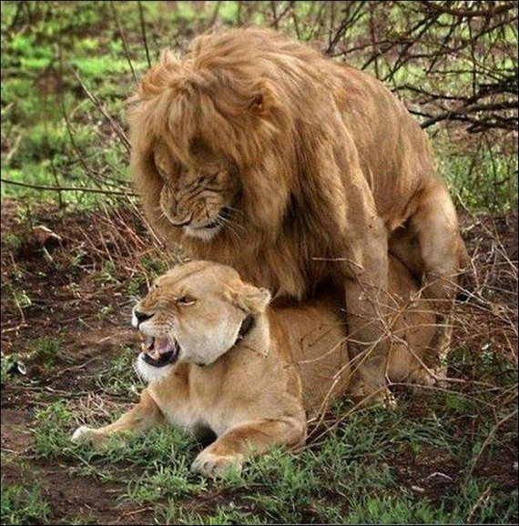Picture of lion having sex
