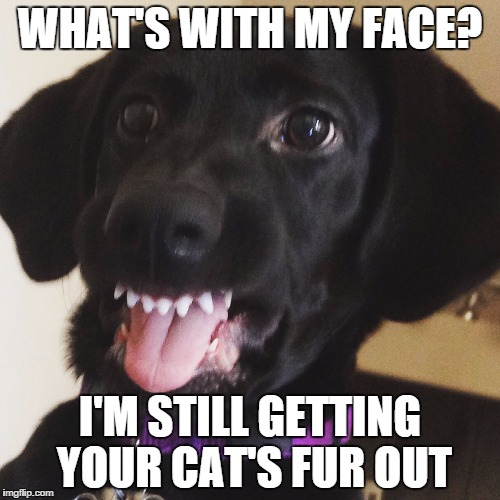 Dog problems | WHAT'S WITH MY FACE? I'M STILL GETTING YOUR CAT'S FUR OUT | image tagged in first world cat problems | made w/ Imgflip meme maker
