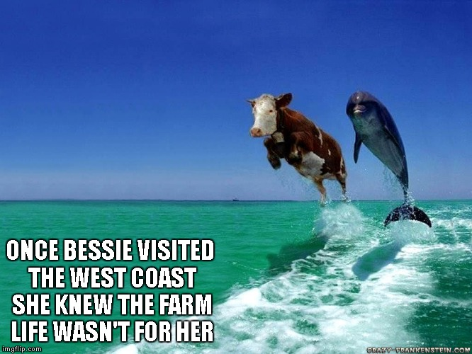 The downside is she'll be pre-seasoned with sea salt. | ONCE BESSIE VISITED THE WEST COAST SHE KNEW THE FARM LIFE WASN'T FOR HER | image tagged in west coast cow,animals,funny,cow,dolphin | made w/ Imgflip meme maker