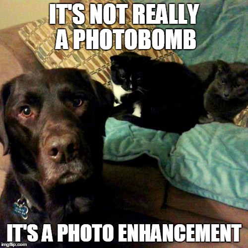 Photobombing the cats | IT'S NOT REALLY A PHOTOBOMB IT'S A PHOTO ENHANCEMENT | image tagged in chuckie the chocolate lab,photobomb,funny,cats,labrador,dog | made w/ Imgflip meme maker