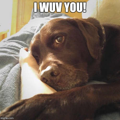 I wuv you  | I WUV YOU! | image tagged in chuckie the chocolate lab,cute,dog,labrador,love | made w/ Imgflip meme maker