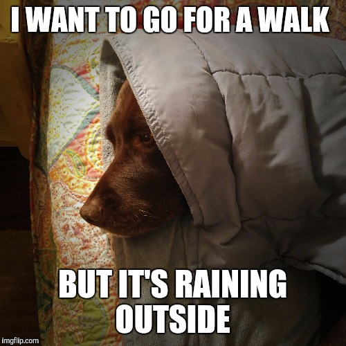 It's raining and I can't go for a walk  | I WANT TO GO FOR A WALK BUT IT'S RAINING OUTSIDE | image tagged in chuckie the chocolate lab,raining,cute,labrador,dog,funny dogs | made w/ Imgflip meme maker