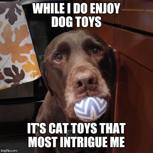 Cat toys intrigue me | WHILE I DO ENJOY DOG TOYS IT'S CAT TOYS THAT MOST INTRIGUE ME | image tagged in chuckie the chocolate lab,funny,funny dogs,memes,dogs,intrigue | made w/ Imgflip meme maker