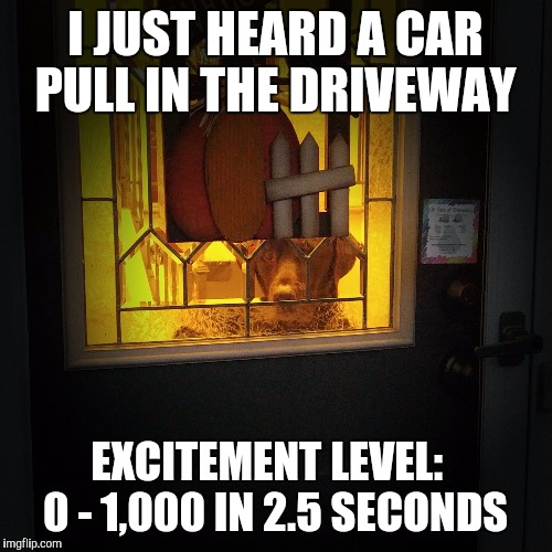 I JUST HEARD A CAR PULL IN THE DRIVEWAY EXCITEMENT LEVEL:   0 - 1,000 IN 2.5 SECONDS | image tagged in chuckie the chocolate lab,home,excited,cute dog,funny dog,labrador | made w/ Imgflip meme maker