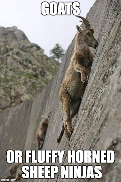 goats | GOATS OR FLUFFY HORNED SHEEP NINJAS | image tagged in goats | made w/ Imgflip meme maker
