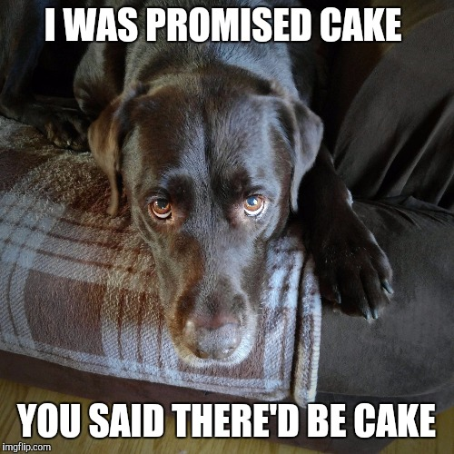 I was promised cake  | I WAS PROMISED CAKE YOU SAID THERE'D BE CAKE | image tagged in chuckie the chocolate lab,cake,labrador,dog,funny meme,funny dog | made w/ Imgflip meme maker