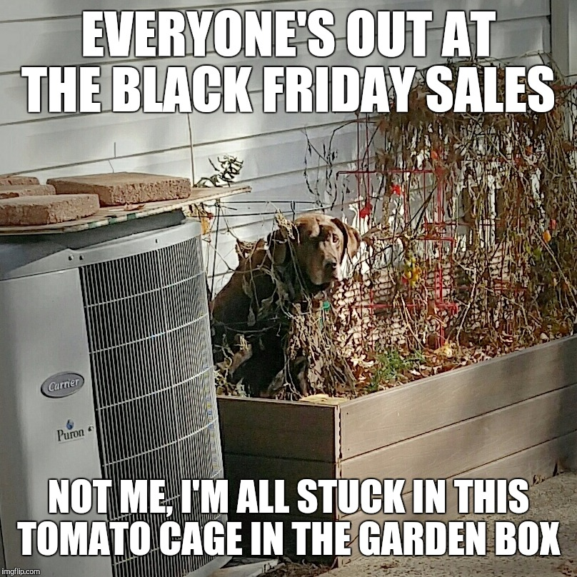 I'm stuck  | EVERYONE'S OUT AT THE BLACK FRIDAY SALES NOT ME, I'M ALL STUCK IN THIS TOMATO CAGE IN THE GARDEN BOX | image tagged in nestle the chocolate lab,black friday,christmas,funny memes,funny dogs,labrador | made w/ Imgflip meme maker