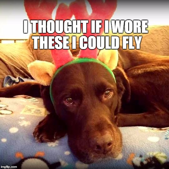 Christmas antlers make you fly | I THOUGHT IF I WORE THESE I COULD FLY | image tagged in chuckie the chocolate lab,christmas,funny dog,funny,holiday,labrador | made w/ Imgflip meme maker