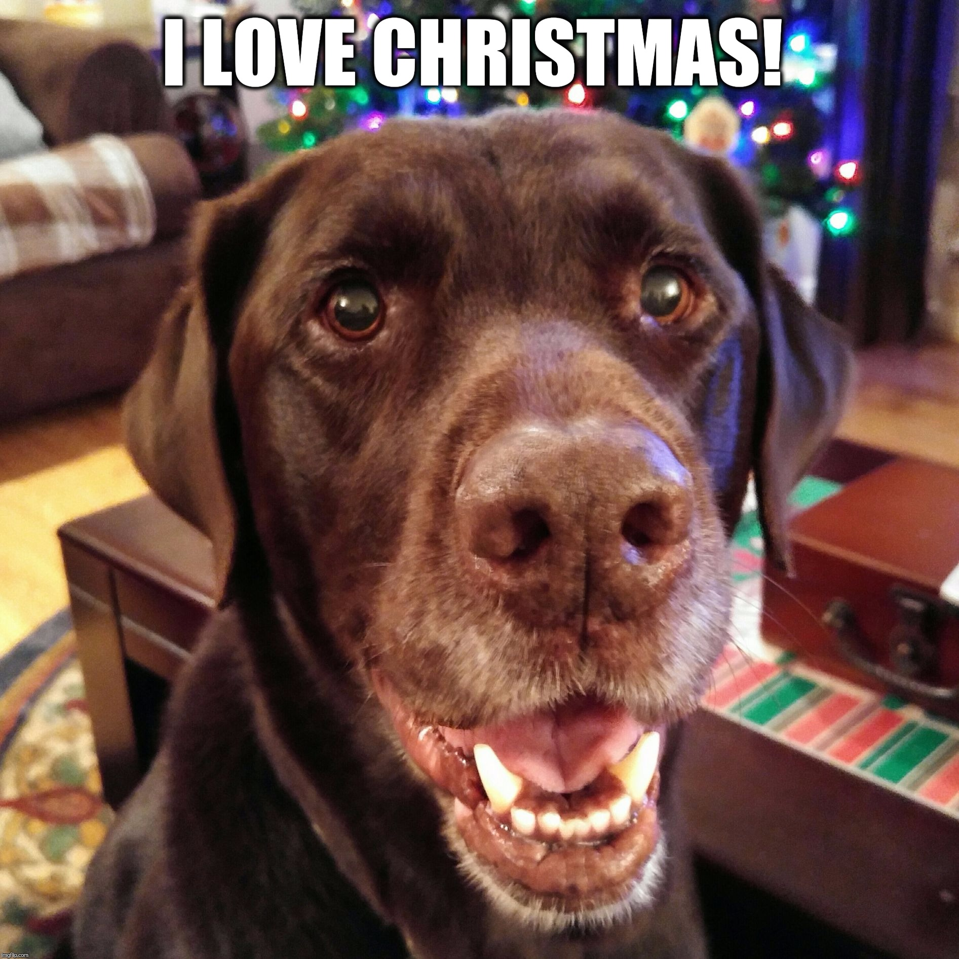 I love Christmas!  | I LOVE CHRISTMAS! | image tagged in chuckie the chocolate lab,christmas,dog,smile,labrador,holidays | made w/ Imgflip meme maker