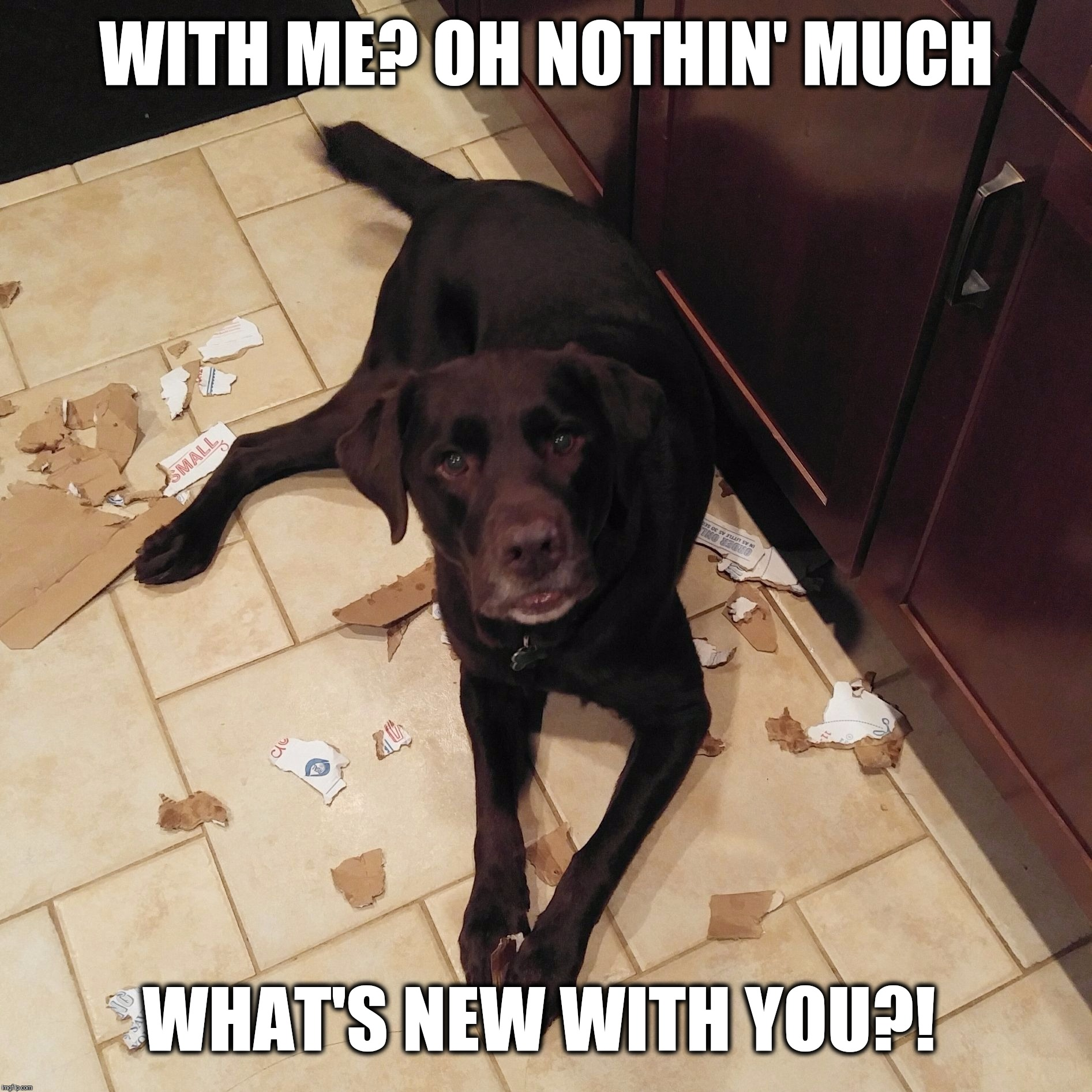 WITH ME? OH NOTHIN' MUCH WHAT'S NEW WITH YOU?! | image tagged in chuckie the chocolate lab,trouble,funny dog memes,dog,cute,labrador | made w/ Imgflip meme maker