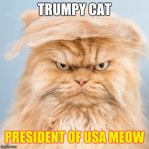 trumpy cat 2 | TRUMPY CAT PRESIDENT OF USA MEOW | image tagged in trumpy cat 2 | made w/ Imgflip meme maker