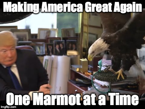 Trump Eagle Attack | Making America Great Again One Marmot at a Time | image tagged in trump,eagle,wussy | made w/ Imgflip meme maker