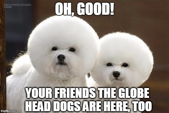 Bichon Frise | OH, GOOD! YOUR FRIENDS THE GLOBE HEAD DOGS ARE HERE, TOO | image tagged in bichon frise | made w/ Imgflip meme maker