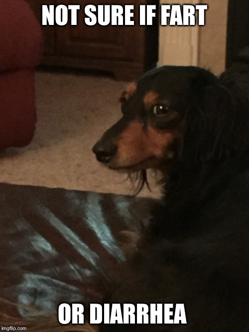 NOT SURE IF FART OR DIARRHEA | image tagged in not sure if,dogs,dachshunds,fart | made w/ Imgflip meme maker