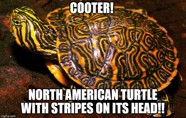 COOTER! NORTH AMERICAN TURTLE WITH STRIPES ON ITS HEAD!! | image tagged in dachshunds,doxie,football,playoffs,texans,houston | made w/ Imgflip meme maker