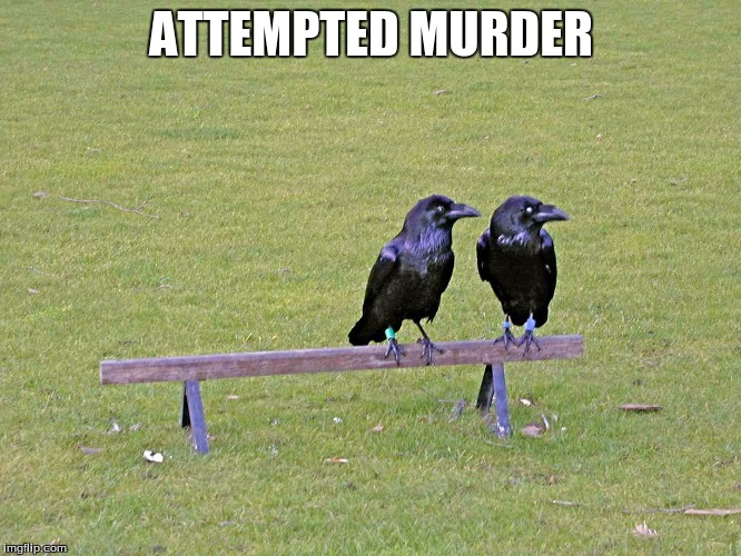 2 crows dont make a murder | ATTEMPTED MURDER | image tagged in crows,murder | made w/ Imgflip meme maker