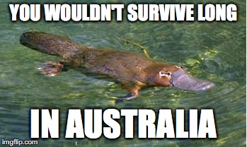 Platypus by Strongly Opinionated Platypus | YOU WOULDN'T SURVIVE LONG IN AUSTRALIA | image tagged in platypus by strongly opinionated platypus | made w/ Imgflip meme maker