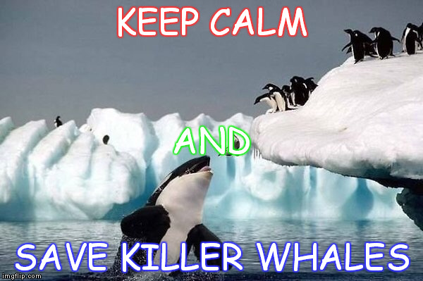 Killer whale | KEEP CALM SAVE KILLER WHALES AND | image tagged in killer whale | made w/ Imgflip meme maker