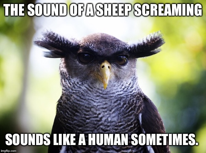 THE SOUND OF A SHEEP SCREAMING SOUNDS LIKE A HUMAN SOMETIMES. | image tagged in eyebrowl | made w/ Imgflip meme maker