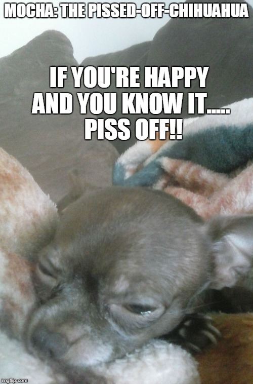 Mocha: The Pissed-Off-Chihuahua | MOCHA: THE PISSED-OFF-CHIHUAHUA IF YOU'RE HAPPY AND YOU KNOW IT.....  PISS OFF!! | image tagged in funny dogs,funny chihuahua,dogs,funny memes,funny | made w/ Imgflip meme maker