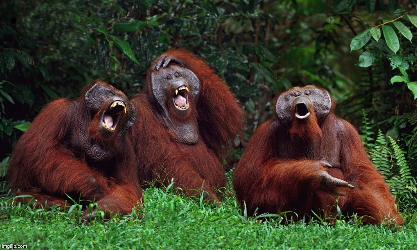 laughing orangutans | . | image tagged in laughing orangutans | made w/ Imgflip meme maker