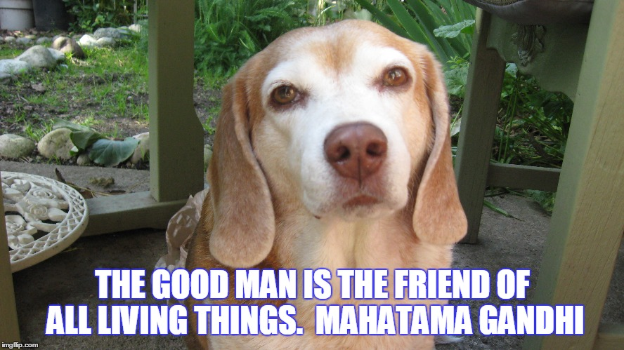 Friend to animals |  THE GOOD MAN IS THE FRIEND OF ALL LIVING THINGS.  MAHATAMA GANDHI | image tagged in beagle | made w/ Imgflip meme maker
